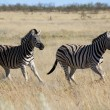 Two zebras running in the savanna at etosha national park — Stock Photo #43318163