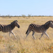 Two zebras running in the savanna at etosha national park — Stock Photo #43318179