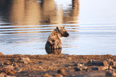 A hyena taking a bath at etosha national park — Stockfoto