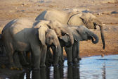 A large group of elephants drinking in etosha — Zdjęcie stockowe