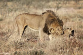 A lion and his cub in etosha national park — Stock Photo