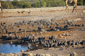 A large group of guinea fowl in etosha — Zdjęcie stockowe