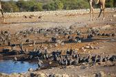 A large group of guinea fowl in etosha — Zdjęcie stockowe