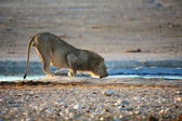 A lion drinking water in etosha national park namibia — Stock Photo