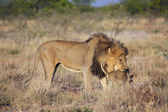 Um leão e seu filhote no Parque Nacional de etosha — Fotografia Stock