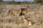 A lion in etosha national park namibia — Stock Photo
