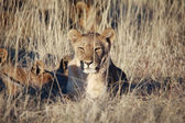 A lioness in etosha national park namibie — Stock Photo