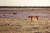 A lioness in etosha national park namibie — Stock Photo