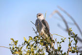 A magnificent black-shouldered kite in etosha national park — Stock Photo