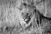 A male lion sleeping in etosha national park — Stock Photo