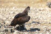 A martial eagle eating a guinea fowl in etosha national park — Zdjęcie stockowe