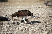 A martial eagle killing a guinea fowl in etosha national park namibia — Zdjęcie stockowe