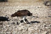 A martial eagle killing a guinea fowl in etosha national park namibia — Zdjęcie stockowe