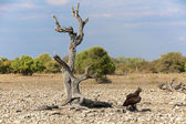 A martial eagle near a dead tree in etosha national park — Stockfoto
