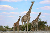 A mother and two babies giraffes in etosha national park namibia — Stock Photo