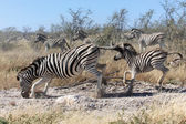 A mother zebra and his baby in etosha national park — Stock Photo