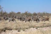 A nice group of zebras in etosha national park — Stok fotoğraf