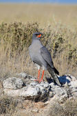 A pale chanting-goshawk in etosha national park — Stok fotoğraf