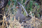 A red-billed francolin in etosha national parl — Stock Photo