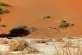 A springbok jumping near a dune at sossuvleil — Foto de Stock