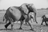 A very big elephants in etosha national park — Stok fotoğraf