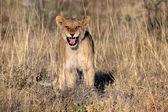 A wonderful baby lion in etosha — Stockfoto