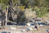 A wonderful male lion in etosha namibia — Stock Photo