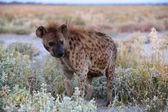 A wonderful spotted hyena in etosha namibia — Stockfoto