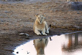 A young lion in etosha national park — Stock Photo