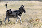 A zebra in black and white in etosha national park namibia — Stockfoto