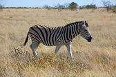 A zebra walking in the savanna at etosha national park — Stockfoto
