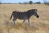 A zebra walking in the savanna at etosha national park — Stock Photo
