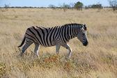A zebra walking in the savanna at etosha national park — Stockfoto