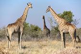 Three giraffes in etosha national park — Stock Photo