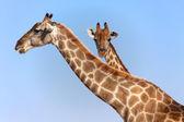 Two giraffes in etosha national park namibia — Stock Photo