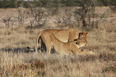 Two lionesses in etosha national park namibia — Stock Photo