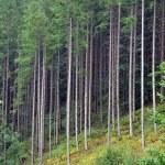 Постер, плакат: Green spruce fir forest