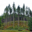 Постер, плакат: Green spruce fir forest