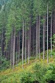 Green spruce, fir forest — Stock Photo