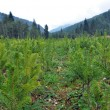 Stock Photo: Spruce fir nursery