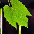 Grape leaf — Stock Photo