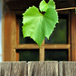 Grape leaf — Stock Photo #13212554