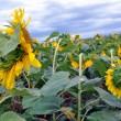 Stock Photo: Field with sunflowers