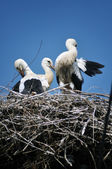 Three storks in the nest — Stock Photo
