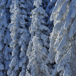 Snow-covered spruces in the mountains - Stock Photo