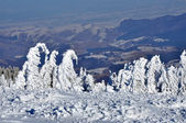 Snow-covered spruces in the mountains — Stock Photo