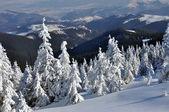 Piceas en las montañas cubiertas de nieve — Foto de Stock