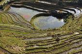 Paddy terrasser i sapa, vietnam — Stockfoto