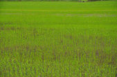 Green rice field, Vietnam — Stock Photo