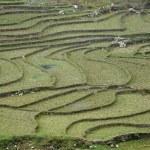 Paddy terraces in Sapa, Vietnam — Stock Photo #23983573